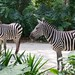 """Zebra • <a style=""""font-size:0.8em;"""" href=""""http://www.flickr.com/photos/128593753@N06/16350730799/"""" target=""""_blank"""">View on Flickr</a>"""