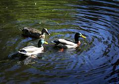 Ducks 1035 (StrangeCharmDesign) Tags: bird nature water duck pond ducks arboretum mallard waterfowl mallards seattlearboretum