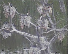Small colony of Little Pied Cormorants nesting (Curtis Hayne Photography) Tags: australia nsw newsouthwales australianbirds littlepiedcormorant gwydirwetlands curtishayne