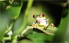 Regard... (mars-chri) Tags: costa rica grenouille yeuxrouges hylaalgalychniscallidryascostarica parquenationaldetarcoles