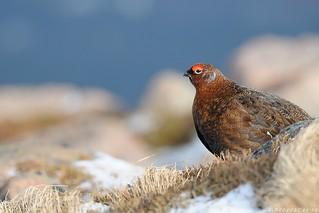Red Grouse, Lagopus lagopus scotica