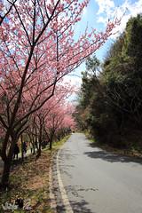 (Whitefox Chen) Tags: flower canon taiwan sakura taichung   6d   wulingfarm 2015 canon1635mm