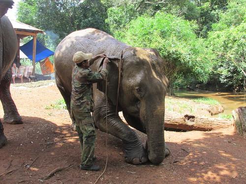 Eléphant, Mondolkiri, Cambodge