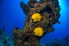 Mar Rojo (Victor Amor) Tags: redsea peces egypt diving egipto buceo marrojo nikond80