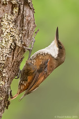 Comesebo Grande. Pygarrhichas albogularis. White-throated Tree-runner (Daniel Sziklai G.) Tags: chile birds grande aves araucana whitethroated pygarrhichasalbogularis comesebo treerunner