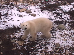 Polar Bear Churchill 1
