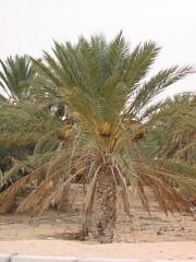 Tozeur Date Palms