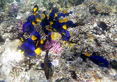 Yellowtail Tang feeding (Chalto!) Tags: africa fish swimming swim underwater snorkel redsea egypt snorkeling snorkelling reef coralreef yellowtailtang