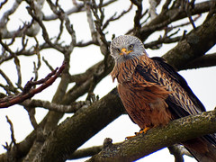 Wild (jo92photos) Tags: 522015week9 giveusyourbestshot redkite kite red wild bird perching perched wind ruffledfeathers milvusmilvus 15challengeswinner