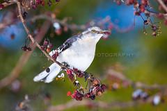 _NP_7521.jpg (JCNixonPhoto) Tags: winter bird robin berries robins