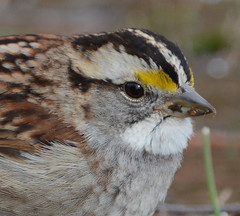 "White-throated sparrow • <a style=""font-size:0.8em;"" href=""http://www.flickr.com/photos/75865141@N03/16561795191/"" target=""_blank"">View on Flickr</a>"