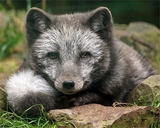 Portrait Arctic Fox in Summer Fur