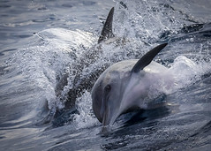 Fin wave..... (cbjphoto) Tags: ocean california mammal photography pacific dolphin watching whale common sanpedro carljackson