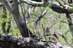 Java Sparrow (sarowen) Tags: tree bird birds hawaii log branch oahu branches diamondhead honolulu javafinch honoluluhi diamondheadcrater javasparrow honoluluhawaii diamondheadcraterstatemonument