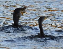 Cormorant's big gulp (bcsongbird) Tags: bird lost fishing lagoon stanleypark cormorant birdwatching eatingfish