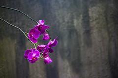 Orchid (Infomastern) Tags: pink orchid flower copenhagen aquarium rosa blomma kopenhavn akvarium blueplanet orkide kpenhamn denblplanet