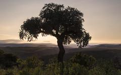 Cabbage Tree (Sheldrickfalls) Tags: tree southafrica cabbagetree mpumalanga lydenburg cussoniaspicata pwlandscape kuduranch kuduprivatenaturereserve kudugameranch