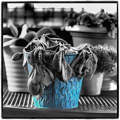 Blue Pot (NoJuan) Tags: cutout square squareformat cutouts selectivecolor selectivedesaturation ektar hss micro43 microfourthirds olympusep5 microfourthirdswithalternativelens microfourthirdswithmanualfocuslens kodakretinalensonmicro43 olympusep5withkodakektarlens