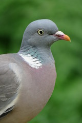 Wood Pigeon {Columba palumbus} - Warnham Nature Reserve (Danny's Nature) Tags: crawley west sussex wildlife trust south east england horsham animals mammals birds reptiles amphibians fish insects spiders nature countryside flower bugs high wealds gatwick hampshire kent london