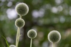 Flowers with bokeh (Infomastern) Tags: lund flower blomma botanicgarden geolocation botaniskatrdgrden geocity camera:make=canon exif:make=canon geocountry geostate exif:lens=efs18200mmf3556is exif:aperture=56 exif:isospeed=250 exif:focallength=175mm camera:model=canoneos760d exif:model=canoneos760d