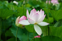 Just the two of us (JPShen) Tags: pink lotus justthetwoofus pair
