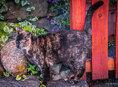 2016 - Road Trip - Nelson BC - 4 of 8 (Ted's photos - Returns Early June) Tags: pet cat fence nikon feline rocks streetscene whiskers cropped vignetting 2016 redfence catstail catswhiskers tedmcgrath tedsphotos nikonfx nikond750