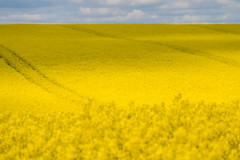 Yellow field (Infomastern) Tags: field raps canola rapeseed geolocation rapefield flt geocity camera:make=canon exif:make=canon geocountry geostate exif:lens=efs18200mmf3556is exif:focallength=170mm exif:aperture=63 exif:isospeed=100 camera:model=canoneos760d exif:model=canoneos760d