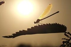 Dore au soleil. (jpto_55) Tags: insecte demoiselle contrejour xe1 fuji fujifilm fujixf55200mmf3548rlmois macro hautegaronne france ngc soleil