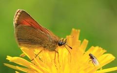 Small Skipper -Martin Down reserve Hamps -220716 (ailognom2005-Catching up slowly.) Tags: butterfliesmothsandcaterpillars britishwildlife wildlife butterflies smallskipper martindownnnr hampshire naturereserves macro