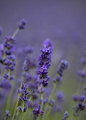 Lavender macro (hisdream) Tags: lavender macro plants mayfield