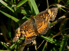 Pearl Crescent (Dendroica cerulea) Tags: summer butterfly newjersey nj insects lepidoptera highlandpark arthropoda pearlcrescent phyciodes invertebrate insecta nymphalidae phyciodestharos hexapoda papilionoidea middlesexcounty nymphalinae donaldsonpark