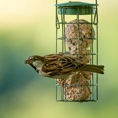 House sparrow (.Hogan.) Tags: nature nikon wildlife sparrow d300 300mmf4 sandyhills dumfiresgalloway