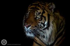 Sumatran Tiger (MAC-Photography.co.uk) Tags: tiger cat wild zoo animal sumatrantiger sumatra