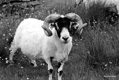 The stare off (mootzie) Tags: sheared monochrome ram horns curly grass buttercups flowers lewis callanish stare blackface handsome