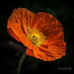 Iceland Poppy (idunbarreid) Tags: poppy doublefantasy