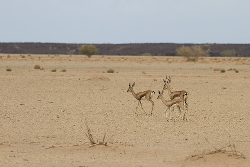 Dorcas gazelle (Gazella dorcas), Dikhil area, Djibouti