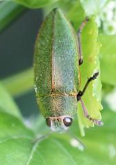 Perotis susannae (Ana Rita Goncalves) Tags: perotissusannae endemic cyprus jewelbeetle buprestidae