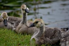 Goslings (Glenn Pye) Tags: gosling goslings birds bird nature wildlife canadiangeese nikon nikond7200 d7200