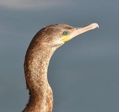 Neotropic Cormorant, Phalacrocorax brasilianus (Dave Beaudette) Tags: birds reidpark tucson pimacounty arizona neotropiccormorant phalacrocoraxbrasilianus