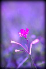 Douceur..... (crozgat29) Tags: nature fleurs canon sigma jmfaure crozgat29