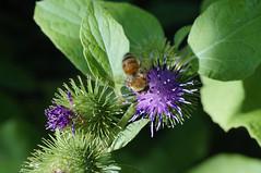 B (lezumbalaberenjena) Tags: animal animales animals canada canad ontario ottawa 2016 bee insect bug