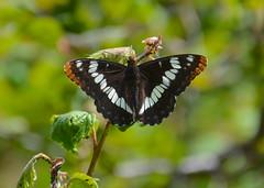 Lorquin's Admiral, Limenitis lorquini burrisoni (vietnamvera) Tags: canadianbutterflies butterfliesofcanada canadianlepidoptera canadaflorafauna canadianrockies canadianrockymountains