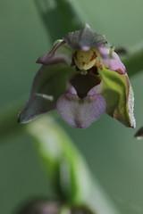 Broad-leaved Helleborine - Epipactis helleborine (Björn S...) Tags: orchid orchidee orchidée orquídea orchidea орхиде́я breitblättrigestendelwurz breitblättrigesumpfwurz breitblättrigesitter broadleavedhelleborine epipactishelleborine épipactisàlargesfeuilles elleborinacomune heleborinadehojasanchas