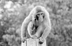 Macaca fuscata --  Japanese Macaque 1275 (2) (Tangled Bank) Tags: asahiyama zoo zoological gardens hokkaido japan primate macaca fuscata japanese macaques 1272 monkey snow