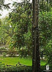 R a i n d r o p s (Rzvan Oprea-Balai) Tags: autumn trees fresh floral texture branches grass green peace weather storm freshness wet droplet waterdrops tranquility botany backyard dewdrop freshair summer rain bucharest romania garden backlit serene raindrops quietness caro hotel