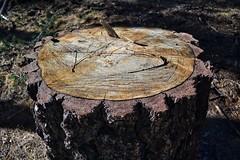 Texturas (fernandez1594) Tags: man bosque forest madera textura tronco pino