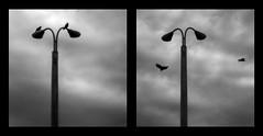 Two Crows (Sean Anderson Media) Tags: holga holgaeoslens holga60mmf8 manuallens plasticlens blackandwhite crows diptych lamppost birds flight clouds motion flying moody holgalens 60mm f8 moddedlens sonya7rii sony fotodiox eostoemountadapter lensadapter