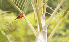 AvePetirojo (Leoncillo 2009) Tags: petirojo erithacus ave rojo aves birds bird pereira colombia fauna red