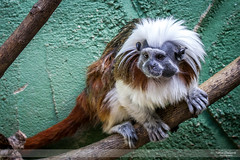 It's Monkey Business (Nathan Dodsworth Photography) Tags: primate tamarin monkey zoo enclosure perching colour fur species tree observing outdoors london