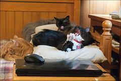 Outtake (Sherwood Harrington) Tags: pets cats finn guinness luna silly yawn lick gingertabby sableburmese tuxedo